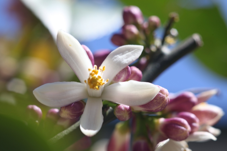 lemon tree flower