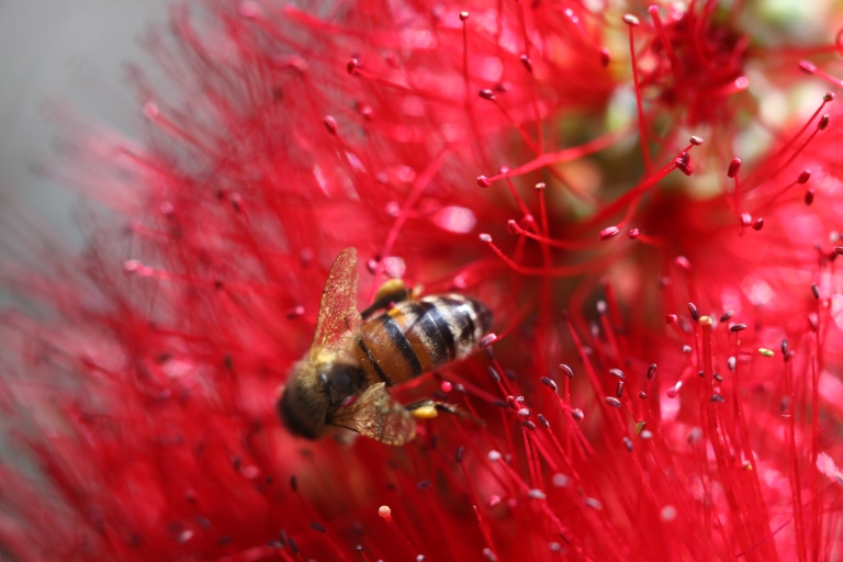 bee in bottle brush